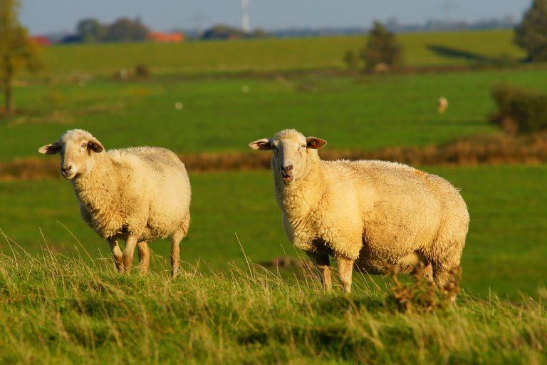 sheep-2854656_1280